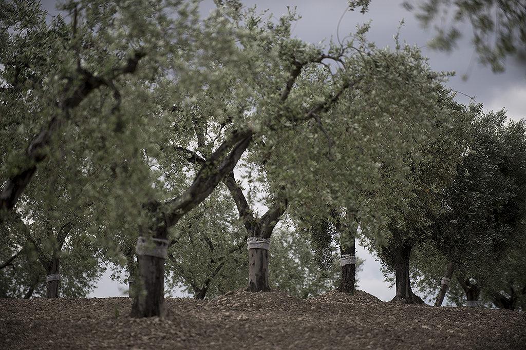 Olive harvest in Puglia.