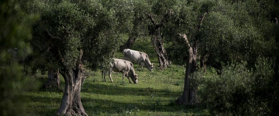 Podolica cow