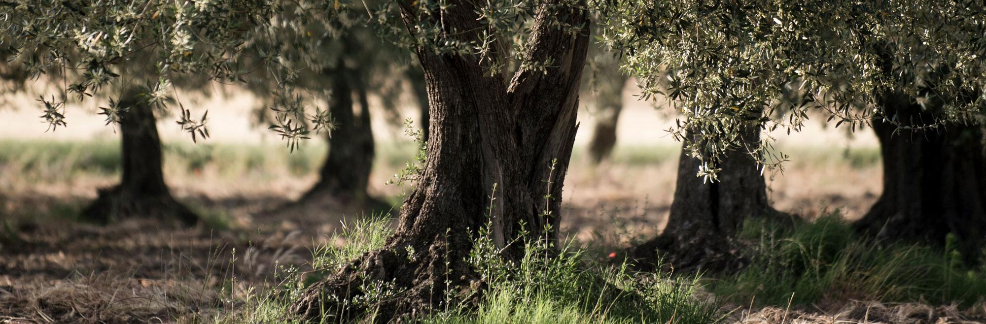 Adopt An Olive Tree Especially Puglia